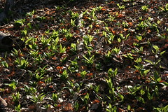 Bärlauch - Wild Garlic (Wolfgang Bazer) Tags: bärlauch allium ursinum wild garlic ramsons buckrams wood bear leek bears wienerwald vienna woods lainzer tiergarten wien österreich austria