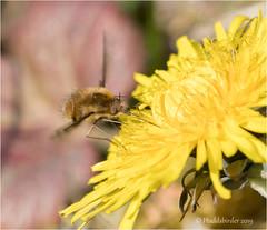 Bee-Fly (Huddsbirder) Tags: huddsbirder a6500 sony fe70300mm work beefly