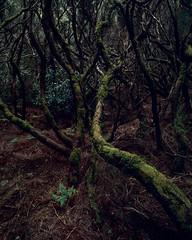 Dance, dance, dance (JaZ99wro) Tags: exif4film tree provia100f e6 forest tetenal3bathkit green plustekopticfilm120 pentax67ii madeira analog f0365 film
