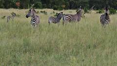 Multiple Zebra in Botswana (h0n3yb33z) Tags: botswana animals wildlife zebra chobenationalpark africa