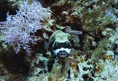 Arothron diadematus (kmlk2000) Tags: redsea merrouge hurghada safaga egypt egypte vacation underwater uwpics sealife underwaterworld ocean sea colorfull fish poisson dc2000