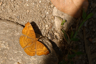 Rohana parisatis ssp. pseudosiamensis - Namtok Monta Tan_20180212_26DSC_9492_DxO