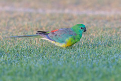 Red-rumped Parrot 2 (RoosterMan64) Tags: adelaide australia australiannativebird bird nature redrumpedparrot wildlife