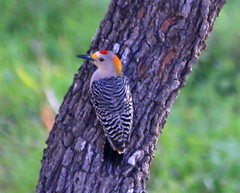 Golden fronted woodpecker (austexican718) Tags: texas native fauna centraltexas hillcountry backyard bird nature wildlife spring canon eos70d ef70300mm456isusm