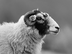 Sheep Portrait (doranstacey) Tags: nature wildlife animals sheep portrait black white longshaw estate peak district farming agriculture fields tamron 150600mm nikon d5300 natureart naturebeauty