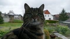 rafz_05_18032017_11'57 (eduard43) Tags: animals tiere katzen cats 2017 rafz gin ginger