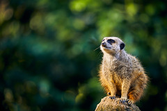 Meerkat (generalstussner) Tags: erdmännchen meerkat cute bokeh canon 5dmarkiv 100400mm sun animal tier lookout canonef100400f4556lisiiusm
