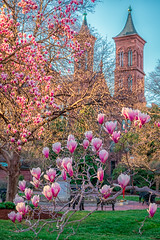 The saucer magnolias at the Enid A. Haupt Garden behind the Smithsonian Castle (YL168) Tags: saucer magnolias enid haupt garden smithsonian castle