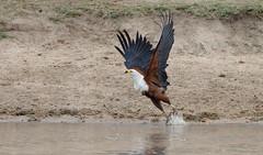 African Fish-Eagle -8490 (Theo Locher) Tags: africanfisheagle afrikaansevisarend birds haliaeetusvocifer oiseaux vogels vögel southafrica zuidafrika krugernationalpark kruger copyrighttheolocher