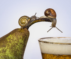 Here's Another Nice Mess You've Gotten Me Into (SkyeWeasel) Tags: macromondays aprilfools laurelandhardy snails gardensnail cornuaspersum whitelippedsnail cepaeahortensis animal fruit pear beer mollusc invertebrate shell