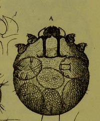 This image is taken from Page 151 of Les acariens parasites [electronic resource] (Medical Heritage Library, Inc.) Tags: acari arachnid vectors wellcomelibrary ukmhl medicalheritagelibrary europeanlibraries date1892 idb20406186