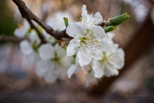 Spring Flowering Fruit Tree