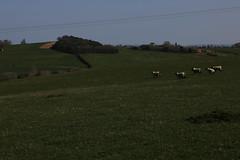 brill walk-190401-16.jpg (Phil Mercer-Kelly) Tags: sunshine spring radiooxford bbc counyryside blossom philmercer getactive brill sheep buckinghamshire europe england uk oxfordshire views bucks health windmill walker oakley walk