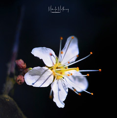 There is still time (Monika Müthing) Tags: blossom hawthorne spring white black natureinfocusgroup