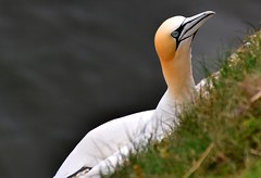 Gannet on the edge (rustyruth1959) Tags: nikon nikond5600 tamron16300mm uk england yorkshire bemptoncliffs bempton rspb cliffs bird gannet feathers plumage nesting nestingbird cliff ledge coast outdoor head bill eyes grass sea northsea