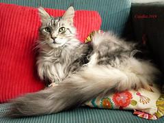Have a nice weekend everybody. (Cajaflez) Tags: pet huisdier cute leuk pedigree raskat kater katze chat cat gatto kat greeneyes tomcat floris maincoon coth5