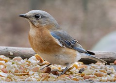 Eastern Bluebird female_11Mar19 (Bob Vuxinic) Tags: bird easternbluebird sialiasialis female trayfeeder cumberlandplateau crossvilletennessee 11mar2019