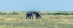 Children Playing (Prashanth S) Tags: safari africansafari africa kenya parks wild wildlife safariphotography travel amboseli ambo nature natural herd elephants animals animal