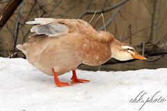 Which duck is it, who knows? (chk.photo) Tags: outdoor salzburg fluss bird nature austria ngc see pond natur lake naturewatcher naturemasterclass tier vogel teich animal