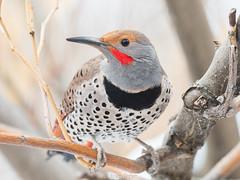 northern flicker (Brian Eagar Nature Photography) Tags: bird nature animal wild wildlife outdoor outside feather flicker northernflicker utah