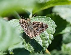 DSC_3520 (stoupaduck) Tags: athens attica butterfly insect mallowskipper nationalandkapodistrianuniversity skipper