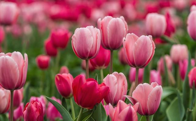 Обои розовый, тюльпаны, бутоны картинки на рабочий стол, раздел цветы - скачать