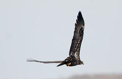 7K8A1052 (rpealit) Tags: scenery wildlife nature edwin b forsythe national refuge brigantine immature bald eagle bird