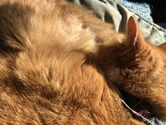Some sun (artnoose) Tags: furry fur winter sunny sunbeam nap asleep sun sleeping tabby orangekitty cat kitty orange