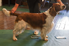 Diary_2016_160 (evinrisca) Tags: welshspringerspaniel wales chepstow open dogshow welshie spaniel