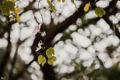 Hoa ban trắng (Bauhinia variegata) (luongsangit58) Tags: xt10 fujifilmxt10 fujifilm minolta 135mm hoa flower hoaban