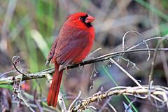 Northern Cardinal of South Florida (Jan Nagalski) Tags: nature wildlife songbird red redbird cardinal northerncardinal southwestflorida florida nationalaudubon corkscrewswampsanctuary jannagalski jannagal
