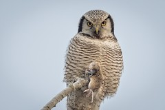 Northern hawk-owl (JS_71) Tags: nature wildlife nikon photography outdoor 500mm bird new winter see natur pose moment outside animal flickr colour poland sunshine beak feather nikkor d500 wildbirds planet global national wing eye
