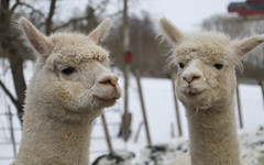 Alpakka (MotbakkeMartin (Martin H-N)) Tags: alpakka