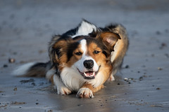 Beach Beauty (jillyspoon) Tags: beach dog bordercollie sand lying lyingdown smiling