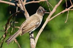 Dark-capped Bulbul, Pycnonotus tricolor (Kevin B Agar) Tags: birds darkcappedbulbul pycnonotustricolor southafrica pycnonotusbarbatustricolor