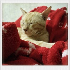 Mr. Plump (ferdyolga) Tags: cat caturday lazy male alpha red blanket fur cozy ginger tabby paw meow