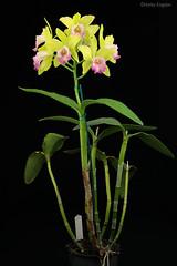 Rlc. Hawaiian Passion 'Kermie' (Harlz_) Tags: rlchawaiianpassionkermie rlchawaiianpassion cattleya orchid hybrid rhyncholaeliocattleya