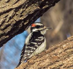 Hairy Woodpecker - male (mahar15) Tags: woodpecker birds outdoors wildlife nature hairywoodpecker malehairywoodpecker malewoodpecker