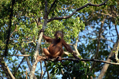 Orangutan in borneo 4 (Aerisabel) Tags: indonesia orangutan animal wild nature borneo travel asia tree forest wood bear tanjung puting
