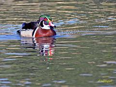 Pato joyuyo. (Aix sponsa)  (26) (eb3alfmiguel) Tags: aves exóticas agua acuaticas pato joyuyo aix sponsa ave anátida pájaro mar