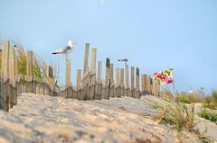 2017-08-14 (8) Assateague Island sand dunes (JLeeFleenor) Tags: photos photography md maryland assateague island ponies flags birds bird seagulls sand sanddunes outside outdoors