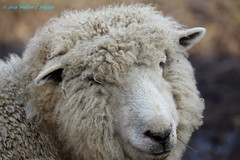 I went down to the farm...sort of...No 12 Wooly Bully! Farewell! (Walt Snyder) Tags: canoneos5dmkiii canonef100400mmf4556l farm animals sheep ram wool portrait nose