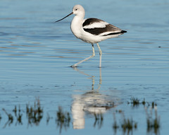 American Avocet Winter 2586 (maguire33@verizon.net) Tags: americanavocet sanjacintowildlifearea avocet wetlands