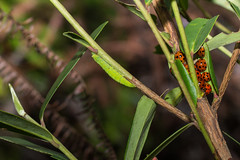 IMG_4206  小十三星瓢蟲Harmonia dimidiata (Fabricius, 1781) (vlee1009) Tags: 2019 60d canon march nantou taiwan nature moths larvae caterpillars