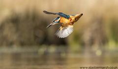Kingfisher in Flight (Alastair Marsh Photography) Tags: kingfisher kingfishers malekingfisher bird birds water waterbird animal animals animalsintheirlandscape britishwildlife britishanimals britishanimal britishbirds britishbird wildlife lake feathers feather fishing fish flight fly flying wing wings diving divingkingfisher