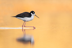 Black-necked Stilt (nikunj.m.patel) Tags: stilt nature wild wildlife birds birdphotography nikond850 nikon naturephotography arizona blackneckedstilt