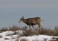 Mule Deer Buck That Shed His Antlers (fethers1) Tags: rockymountainarsenalnwr rmanwr rmanwrwildlife coloradowildlife deer muledeer muledeerbuck