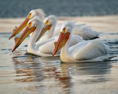 All Together (dcstep) Tags: pelican feeding americanwhitepelican cherrycreekstatepark cherrycreekreservoir water lake reservoir bird sonya9 handheld fe400mmf28gmoss fe20xteleconverter allrightsreserved copyright2019davidcstephens dxophotolab220 dxoprimenoisereduction dsc9235dxo