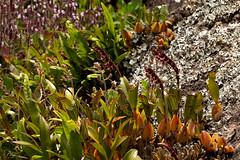 Bulbophyllum sandersonii (zimbart) Tags: angiosperms asparagales bulbophyllum flora malawi nyikaplateau orchidaceae monocots bulbophyllumsandersonii africa