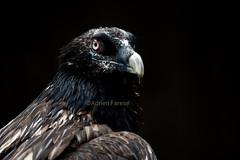 Gypaetus barbatus (Adrien Farese) Tags: bird prey rapace zoo amnéville gypaetus gypaète barbatus barbu bearded vulture